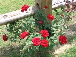 Don Juan Trailing Roses